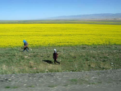 chi mustard field