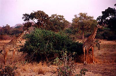 zambia giraffes