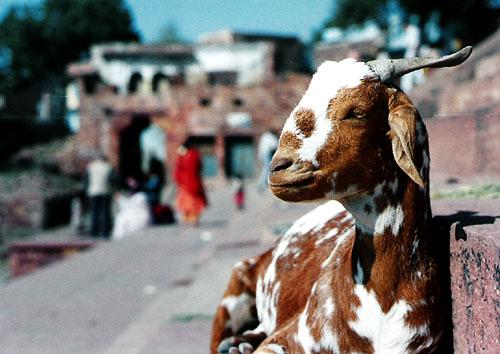 india goat